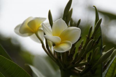 鸡蛋花, 开花, 绽放, 树, 鸡蛋花, 寺庙树, 异国情调
