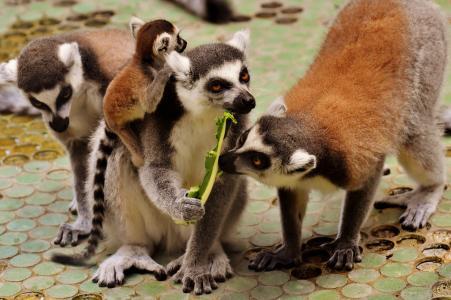 狐猴, 家庭, 可爱, 猿, 动物, 野生动物, tierpark 已经