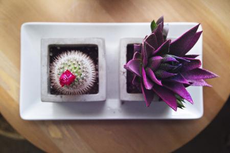 仙人掌, 植物, 花盆, 花, 自然