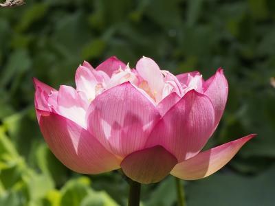 莲花, 复合皮瓣, 粉色, 绽放