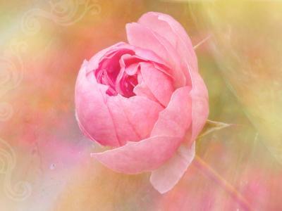 绘画, 上升, 花, 开花, 绽放, 粉色, 植物