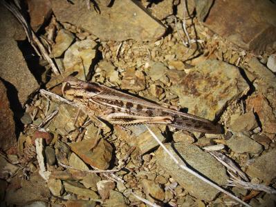蚱蜢, 龙虾, 节肢动物, 岩石, 宏观