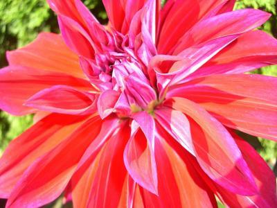 大丽花, 大丽花花园, 大丽花, 花, 开花, 绽放, 植物