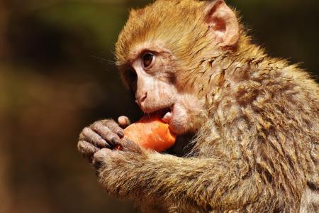 巴巴利猿, 吃, 胡萝卜, 可爱, 濒危的物种, 猴子山塞勒姆, 动物