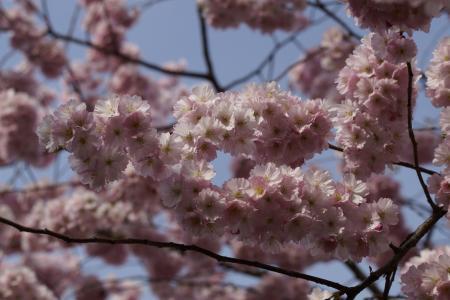 樱花, 开花, 绽放, 春天, 关闭, 粉色, 投标