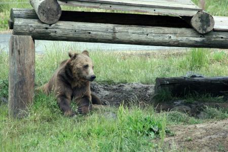 熊, 野生动物, 动物, 棕色, 荒野, 栖息地, 自然