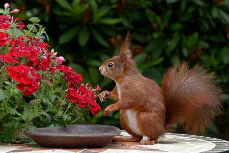 动物, 啮齿类动物, 松鼠, vulgaris 主要, 觅食, 花园, 自然