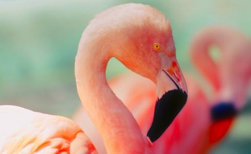 火烈鸟, 鸟, 野生动物, 多彩, 颜色, 橙色, 宏观