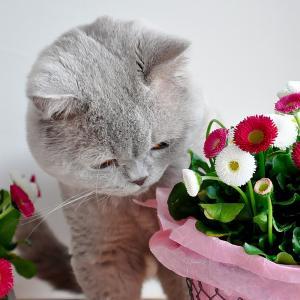 英国短毛猫, 丁香, 灰色, 猫, 复活节, 雏菊, 花