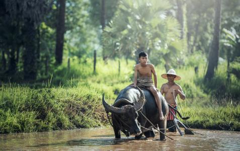 水牛城, 农业, 亚洲, 柬埔寨, 孩子们, 中国, 中文