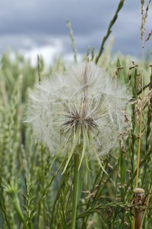 蒲公英, 草甸, 自然, 花, 植物, 尖尖的花, 夏季
