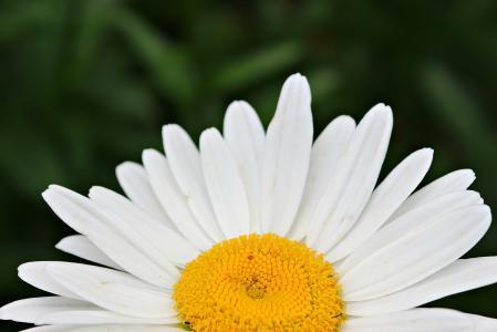 洋甘菊, 开花, 花, 黄色, 白色, 植物, 夏季