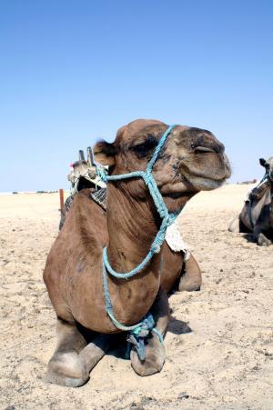 骆驼, 动物, 特写, 沙漠动物, 沙漠, 沙子, 峰骆驼
