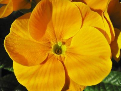 黄樱草, 樱草花, 局部视图, 详细, 关闭, 黄色, 芳香的植物