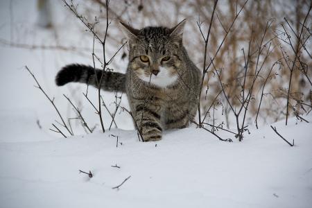 猫, 动物, 雪, 家猫, 户外, 冬天, 自然