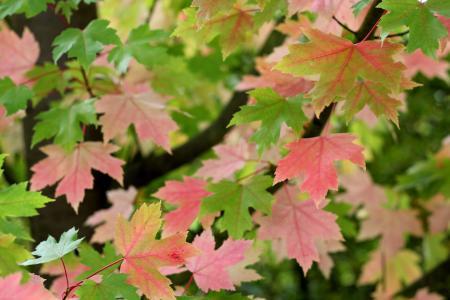 宏碁, 叶子, 颜色, 枫树, 叶, 树, 自然