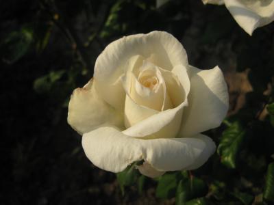 花, 玫瑰, 白玫瑰, 白色, 观赏植物, 自然, 植物