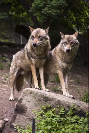 狼, 狼群, 欧洲狼, 狼, 捕食者, 动物园, 岩石