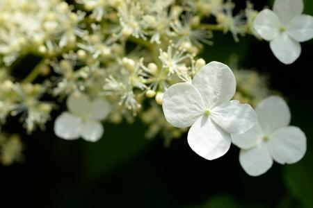 绣球花, 白色, 宏观, 开花, 绽放, 自然, 植物
