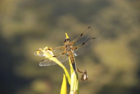 蜻蜓, 昆虫, 关闭, 自然, 翼, 飞行的昆虫, 生物