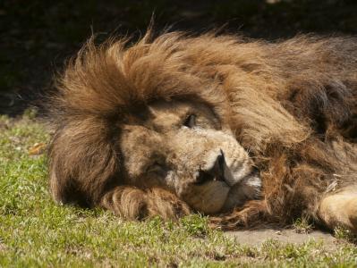 狮子, 睡眠, 动物园, 动物
