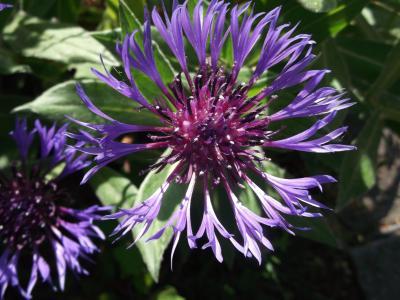 花, 矢车菊, 夏季, 蓝色, 复合材料, 自然, 紫色
