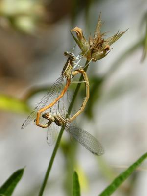 蜻蜓, 繁殖, 交配, 交配, 昆虫交配