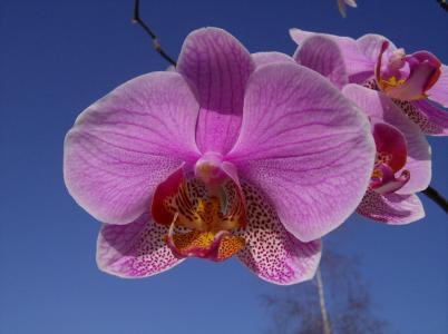 花, 兰花, 开花, 绽放, 植物, 白紫, 天空