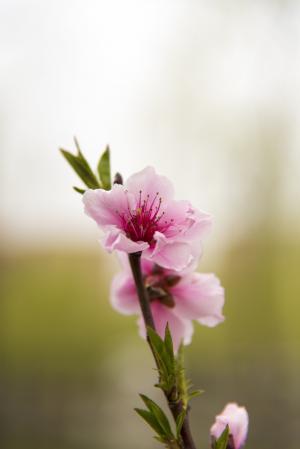 花, 春天, 樱花, 开花, 粉红色的颜色, 自然, 植物