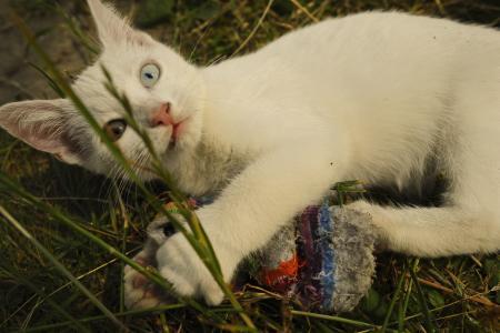 猫, 白色, 奇眼, 聋人, 小猫, 蓝色, 黄色