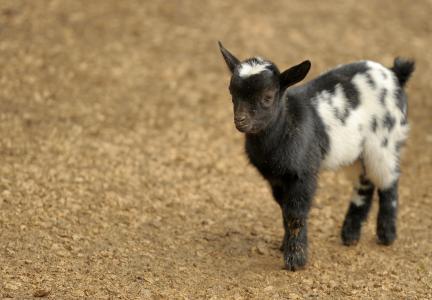 山羊, 动物, 动物园, 自然, 农场, 牲畜, 农业