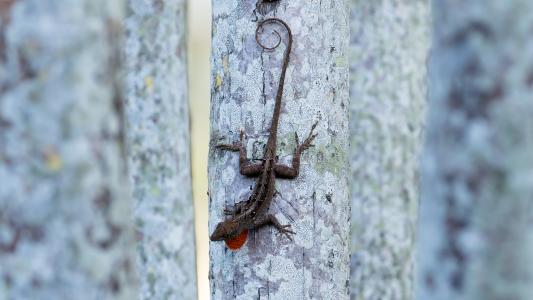 棕色, 变色龙, 蜥蜴, 爬行动物, 热带, 绿色, 爬网