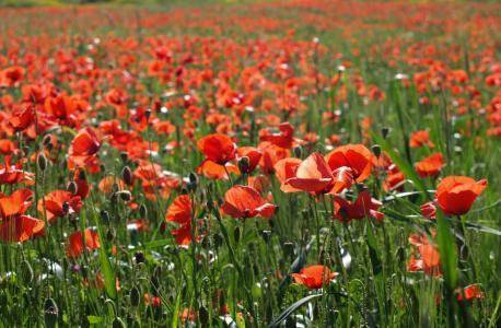 花, 罂粟, 红色, 玉米, 自然, 春天, 夏季