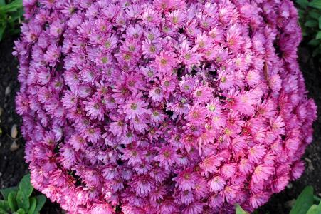 花, 紫苑, 花序, 篮形, 紫色, 折扣, 秋天