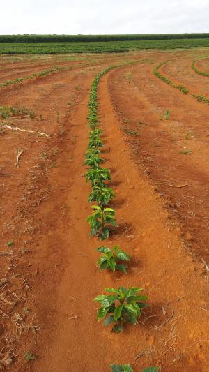 咖啡, 植物, 自然, 农场, roça, 巴西, 米纳斯