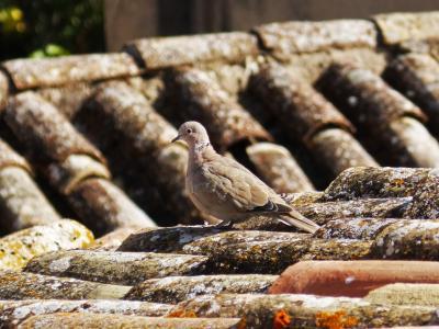 斑鸠, 屋顶, 德克萨斯州