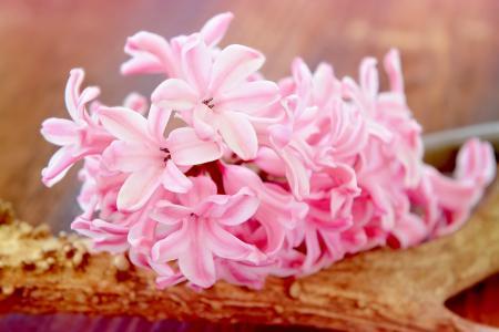 风信子, 花, 开花, 绽放, 粉色, 香美的鲜花, 香