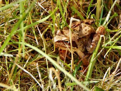青蛙, 两栖类动物, 一只蟾蜍