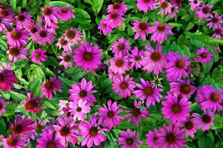 锥花, 紫锥花, 紫锥菊, 植物, 花, 医学, 自然