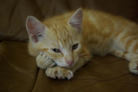 小猫, 国家行动方案, 可爱, 姜, 家猫, 宠物, 动物