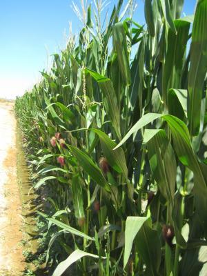农业, 玉米, 收获, 谷物, 农场, 自然, 玉米作物