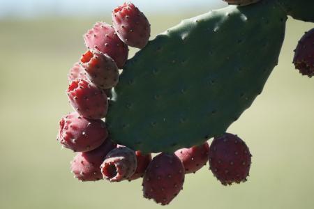 天鹅绒般的树梨, 仙人掌, 仙人掌, 水果, 自然, 食品, 仙人掌