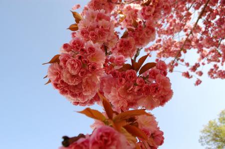 樱花, 樱桃, 花, 花, 自然, 脆弱, 大自然的美