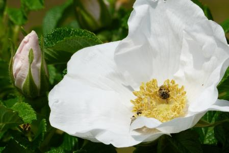 赫曼纽斯, 花, 白色, 在初夏, 蜜蜂, 花粉, 自然