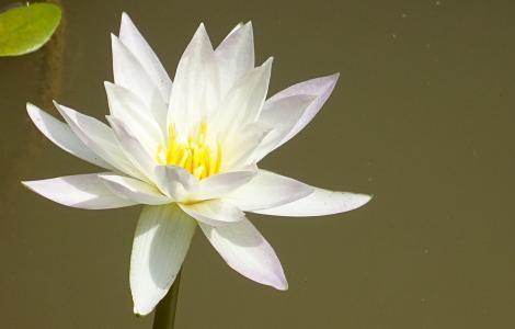 百合, 白色, 花, 植物区系, 植物学, 纯度, 自然