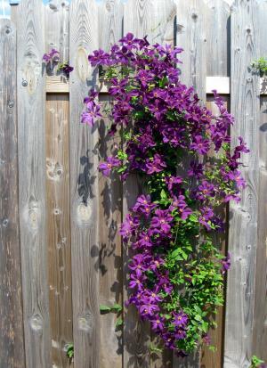 铁线莲, 紫色, 花, 绽放, 花, 栅栏, 木栅栏