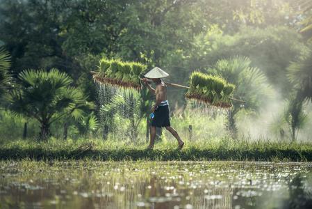 农业, 亚洲, 柬埔寨, 粮食, 孩子们, 全国, 培养
