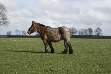 马, 牵马, 马, 动物, 比利时