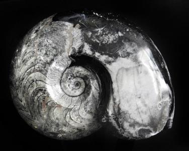 亚扪人, goniatitida, 泥盆纪, 二叠纪, 化石, 石头, 螺旋
