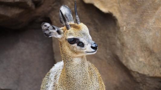klipspringer, 羚羊, 非洲, 动物, 自然, 野生动物, 野生动物园